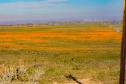 Mojave - California Poppies